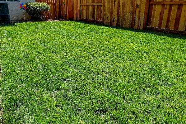 Green mowed grass in a backyard