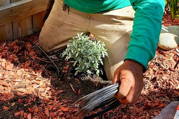Alvero installing a sprinkler system in a mulch bed