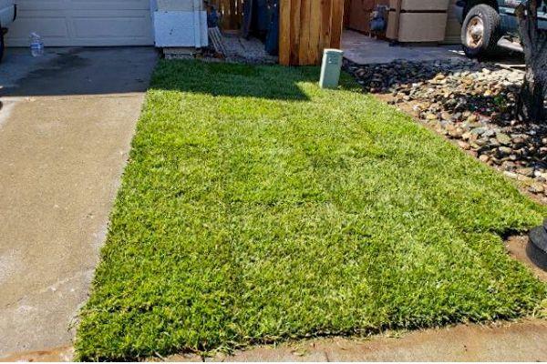 Freshly laid sod in a side yard