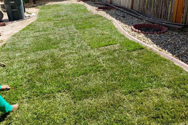 Newly laid sod in side yard